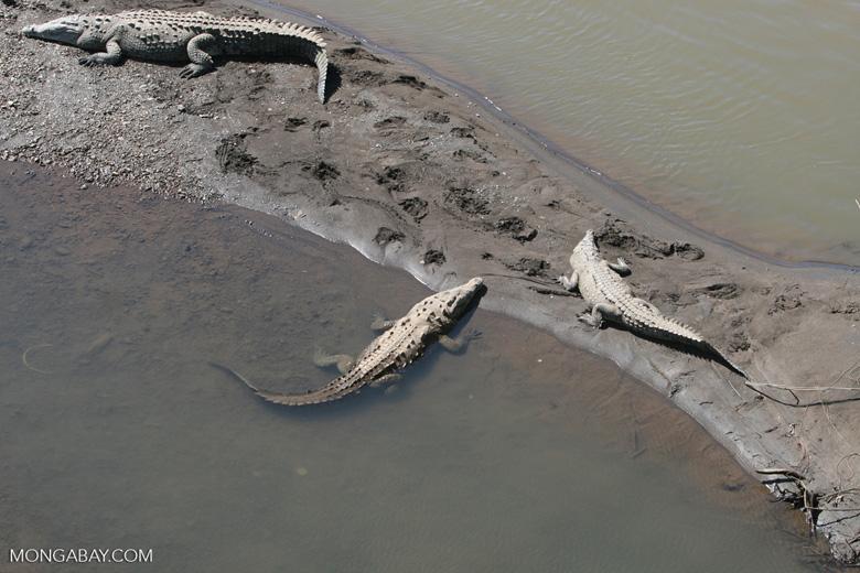 American Crocodiles in the Tarcoles river [costa_rica_6063]