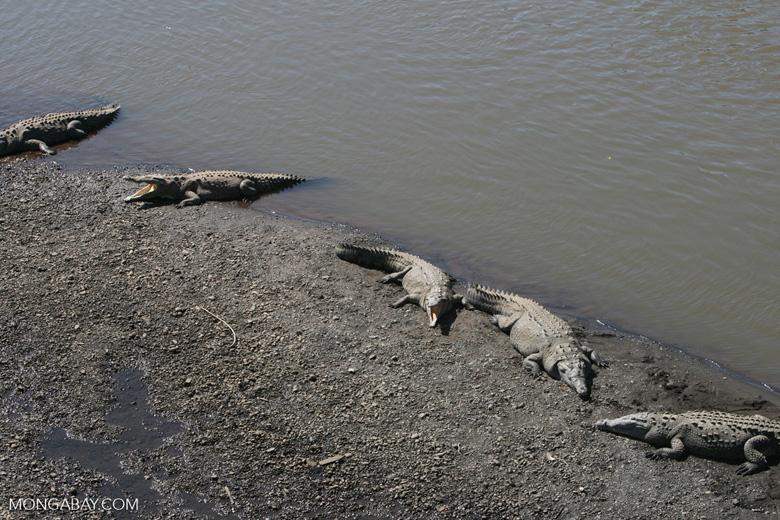 American Crocodiles in the Tarcoles river [costa_rica_6064]