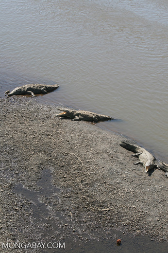 American Crocodiles in the Tarcoles river [costa_rica_6065]