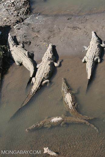 American Crocodiles in the Tarcoles river [costa_rica_6066]