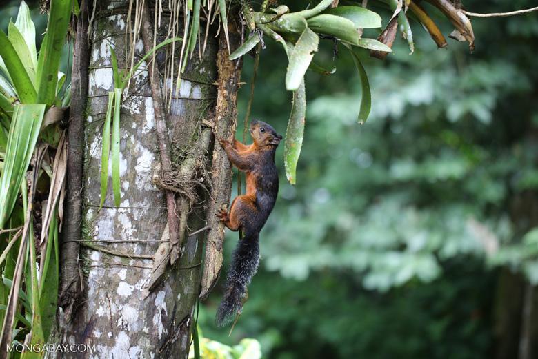 Squirrel [costa_rica_la_selva_0045]
