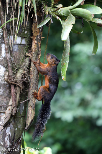 Squirrel [costa_rica_la_selva_0047]