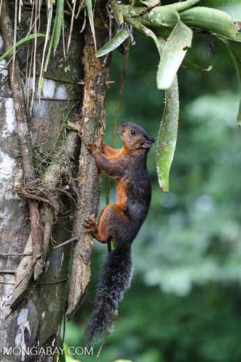 Squirrel [costa_rica_la_selva_0048]