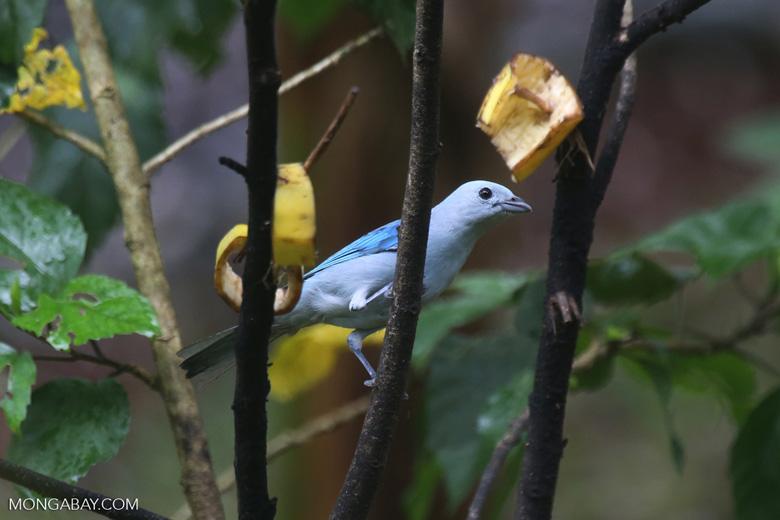 Blue-grey Tanager (Thraupis episcopus) [costa_rica_la_selva_0085]