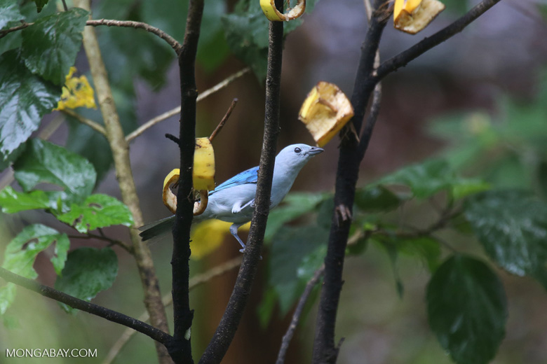 Blue-grey Tanager (Thraupis episcopus) [costa_rica_la_selva_0087]