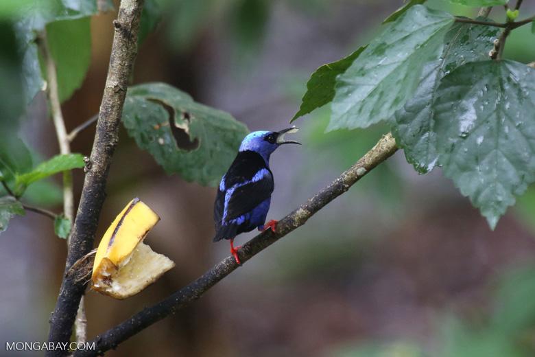 Red-legged Honeycreeper (Cyanerpes cyaneus) [male]