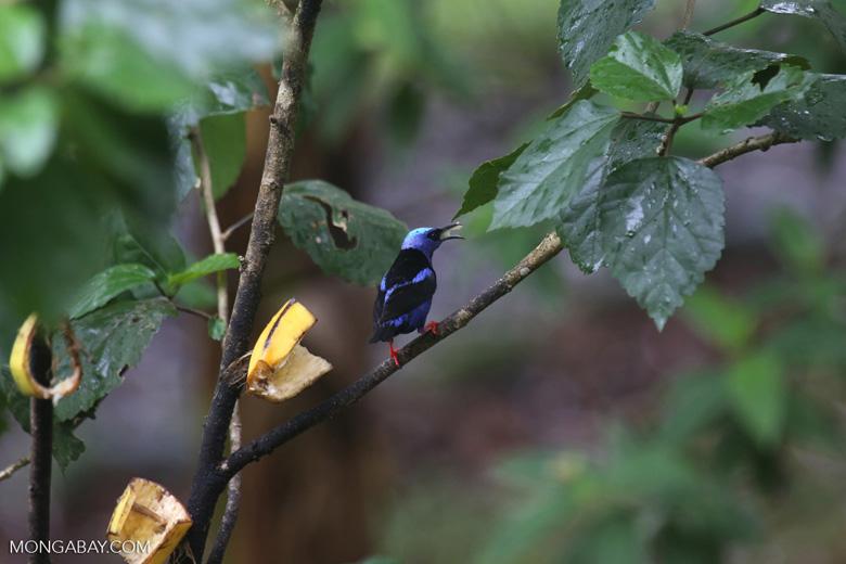 Red-legged Honeycreeper (Cyanerpes cyaneus) [male] [costa_rica_la_selva_0089]