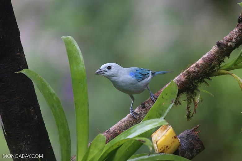 Blue-grey Tanager (Thraupis episcopus) [costa_rica_la_selva_0096]