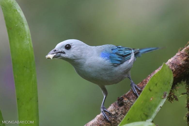 Blue-grey Tanager (Thraupis episcopus) [costa_rica_la_selva_0098]