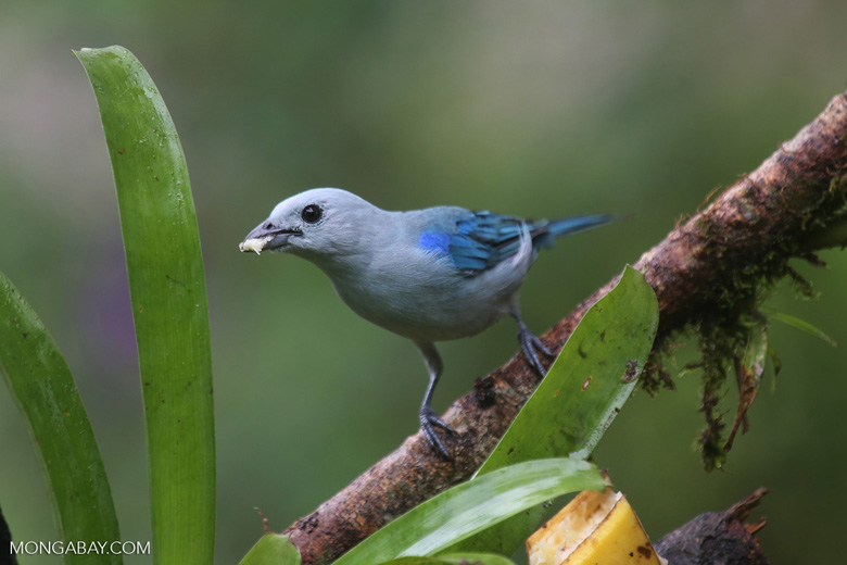 Blue-grey Tanager (Thraupis episcopus) [costa_rica_la_selva_0099]