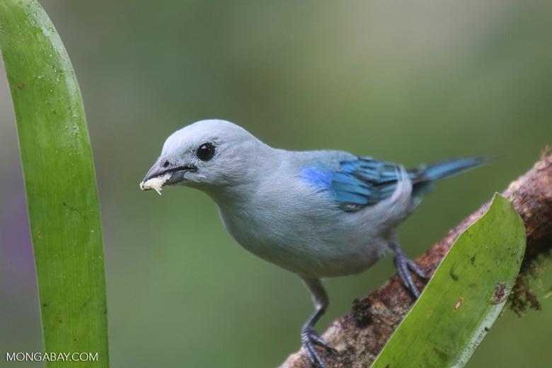 Blue-grey Tanager (Thraupis episcopus) [costa_rica_la_selva_0101]