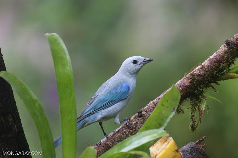 Blue-grey Tanager (Thraupis episcopus) [costa_rica_la_selva_0102]