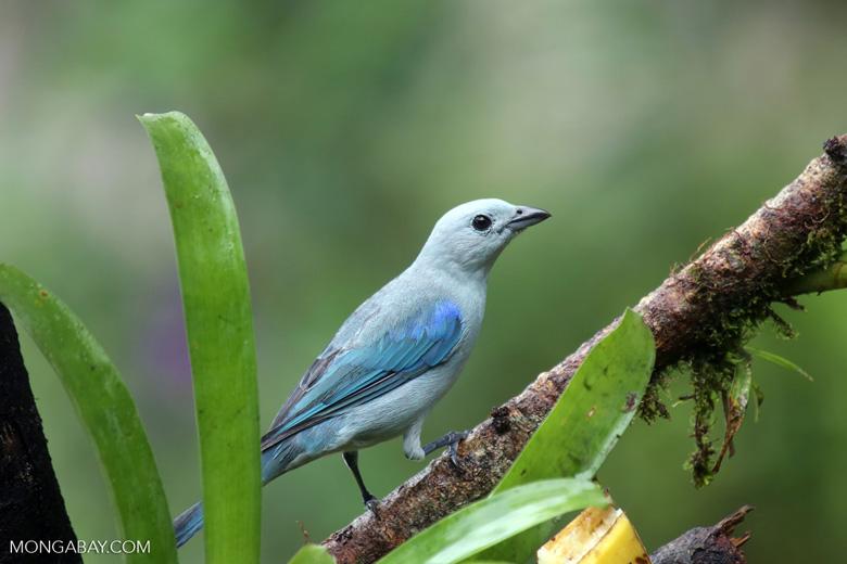 Blue-grey Tanager (Thraupis episcopus) [costa_rica_la_selva_0103]