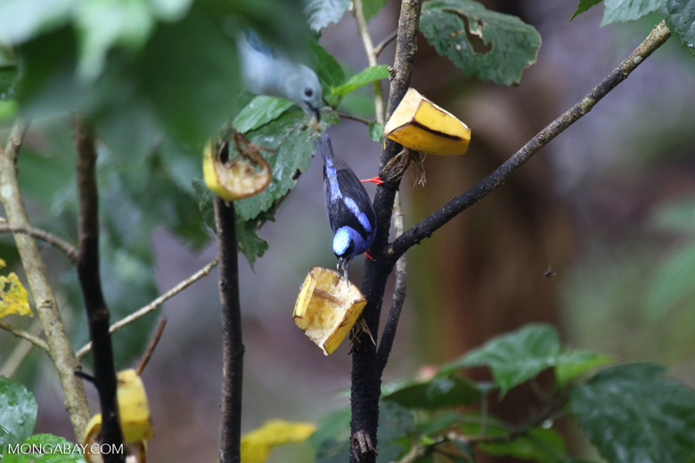 Red-legged Honeycreeper (Cyanerpes cyaneus) [male] [costa_rica_la_selva_0116]