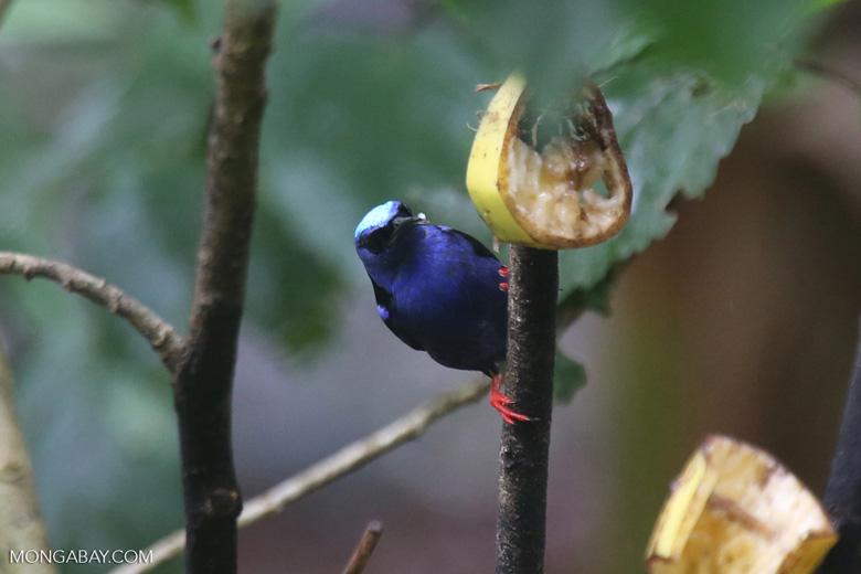 Red-legged Honeycreeper (Cyanerpes cyaneus) [male] [costa_rica_la_selva_0122]