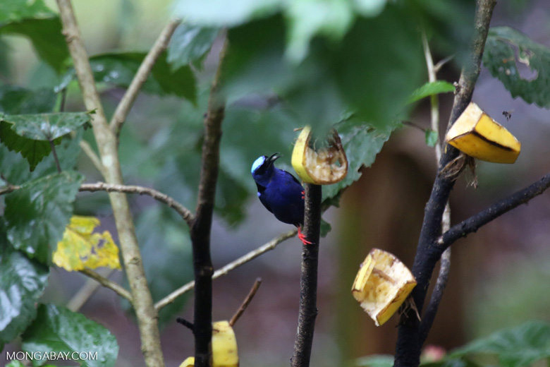 Red-legged Honeycreeper (Cyanerpes cyaneus) [male] [costa_rica_la_selva_0123]