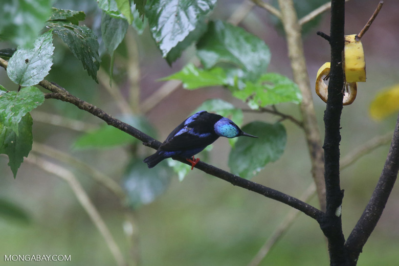 Red-legged Honeycreeper (Cyanerpes cyaneus) [male] [costa_rica_la_selva_0131]