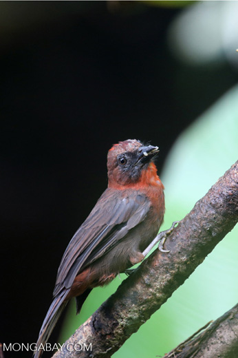 Bird [costa_rica_la_selva_0147]