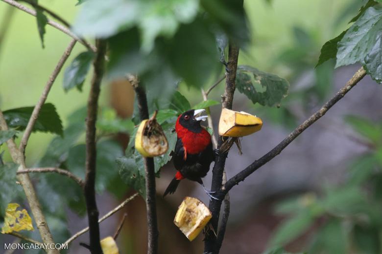 Crimson-collared Tanager (Phlogothraupis sanguinolenta) [costa_rica_la_selva_0160]
