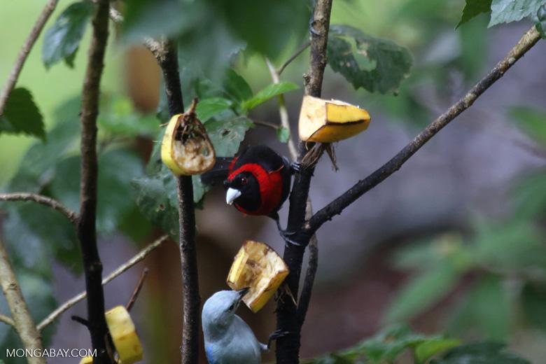 Crimson-collared Tanager (Phlogothraupis sanguinolenta) [costa_rica_la_selva_0161]