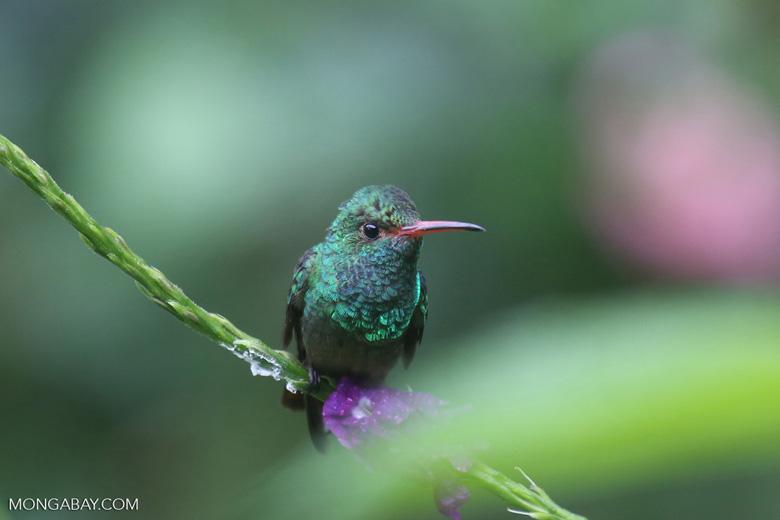 Hummingbird [costa_rica_la_selva_0180]