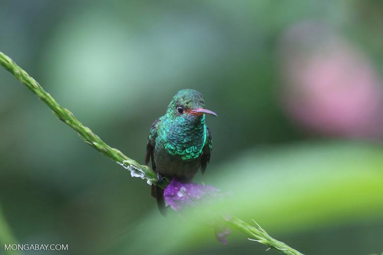 Hummingbird [costa_rica_la_selva_0182]