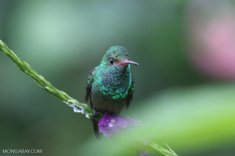 Hummingbird [costa_rica_la_selva_0187]