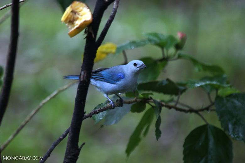 Blue-grey Tanager (Thraupis episcopus) [costa_rica_la_selva_0204]