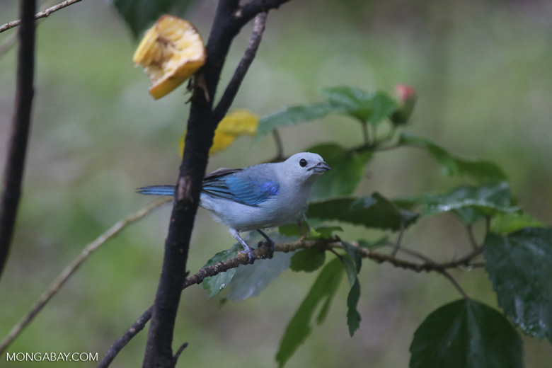 Blue-grey Tanager (Thraupis episcopus) [costa_rica_la_selva_0205]