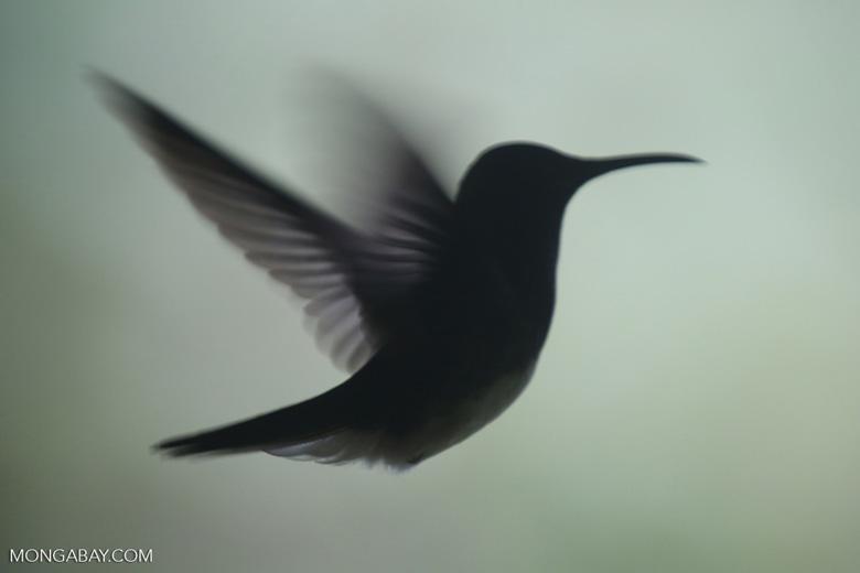 Hummingbird [costa_rica_la_selva_0236]