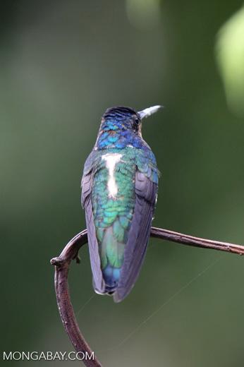 Hummingbird [costa_rica_la_selva_0238]