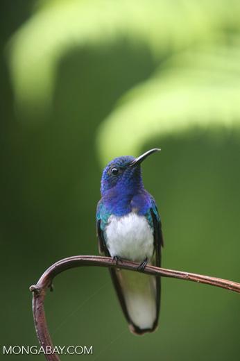 Hummingbird [costa_rica_la_selva_0243]