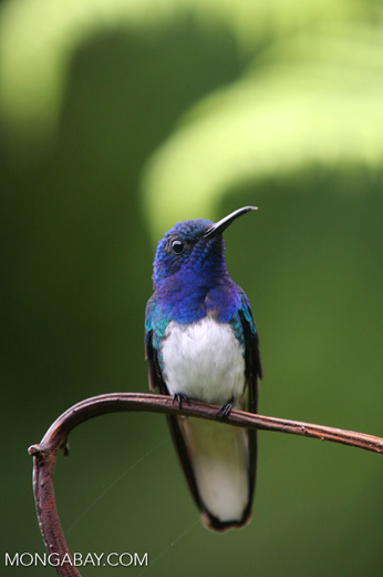 Hummingbird [costa_rica_la_selva_0245]