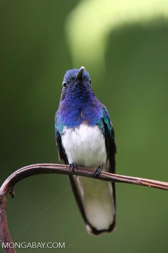 Hummingbird [costa_rica_la_selva_0248]