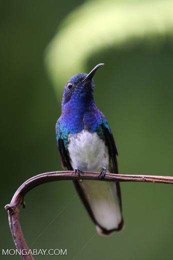 Hummingbird [costa_rica_la_selva_0249]
