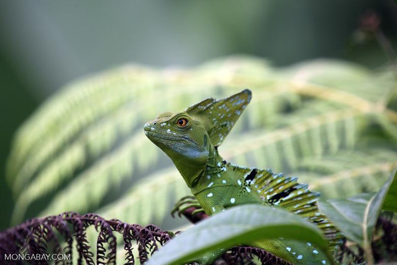 Green basilisk [costa_rica_la_selva_0251]
