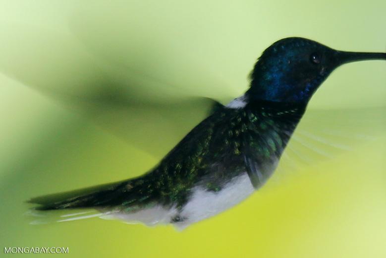 Hummingbird [costa_rica_la_selva_0267]