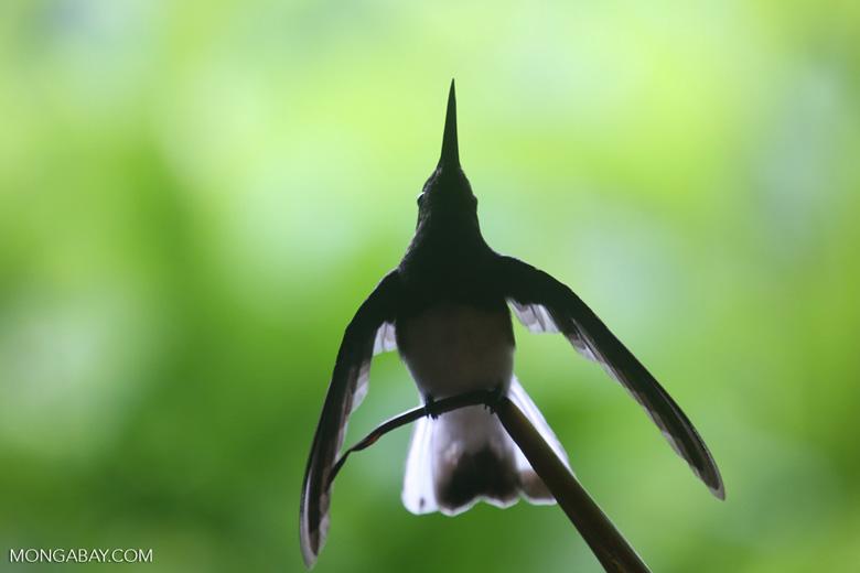 Hummingbird [costa_rica_la_selva_0276]