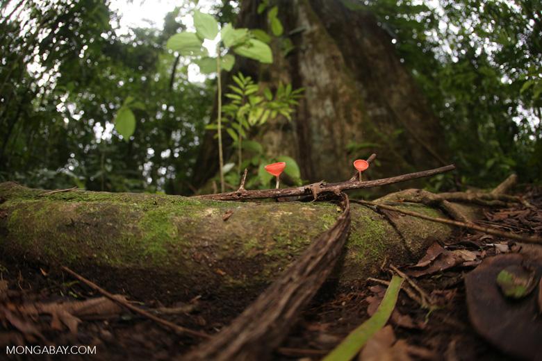 Red cup mushroom (Cookeina speciosa) [costa_rica_la_selva_0313]