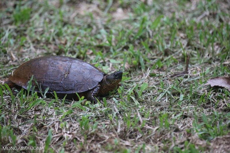 Turtle [costa_rica_la_selva_0348]
