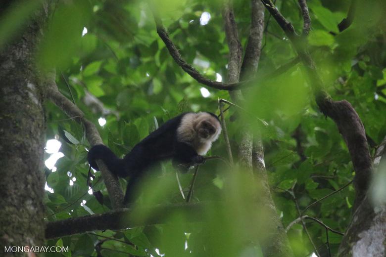 White-Faced Capuchin Monkey (Cebus capucinus) [costa_rica_la_selva_0366]