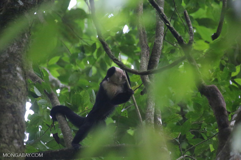 White-Faced Capuchin Monkey (Cebus capucinus) [costa_rica_la_selva_0371]