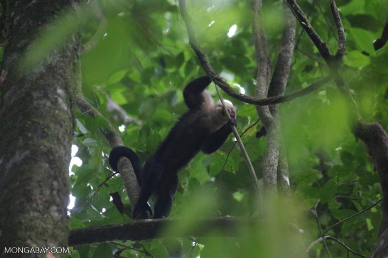 White-Faced Capuchin Monkey (Cebus capucinus) [costa_rica_la_selva_0374]