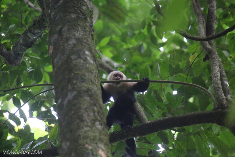 White-Faced Capuchin Monkey (Cebus capucinus) [costa_rica_la_selva_0377]