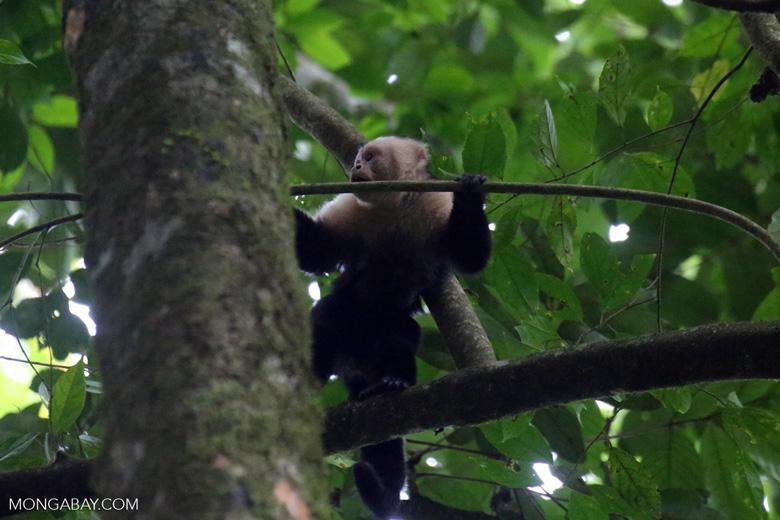 White-Faced Capuchin Monkey (Cebus capucinus) [costa_rica_la_selva_0382]