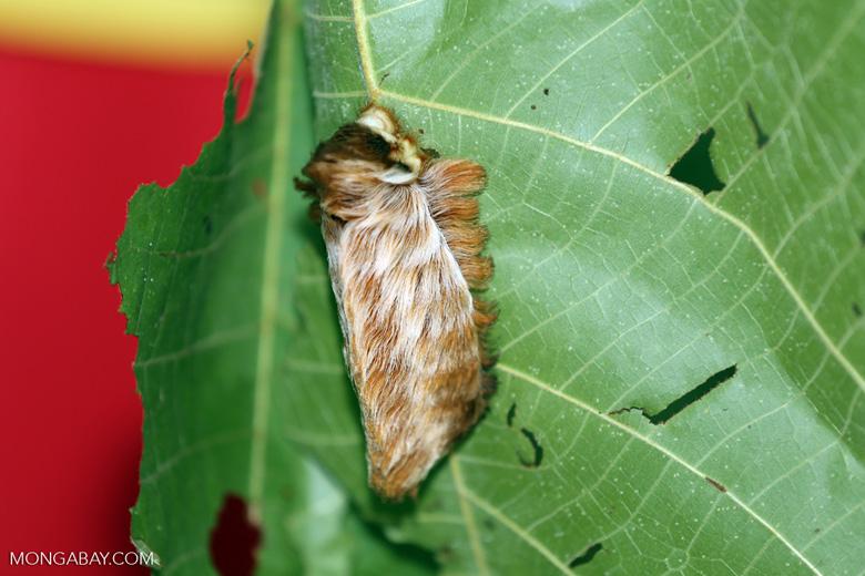 Donald trump caterpillar (Megalopyge sp)