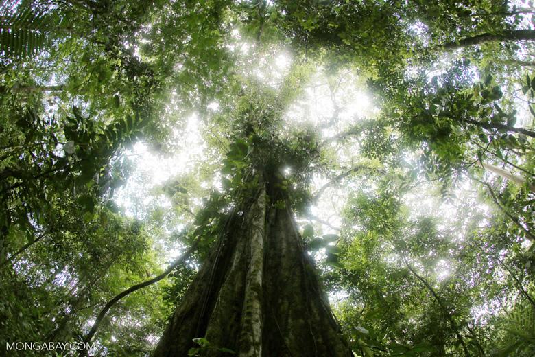 Giant rainforest tree [costa_rica_la_selva_0483]