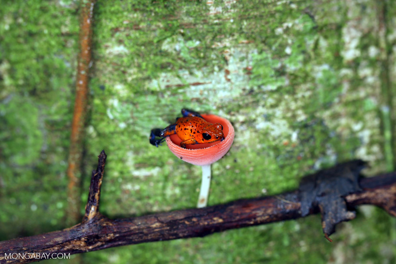 Strawberry dart frog in a red cap mushroom