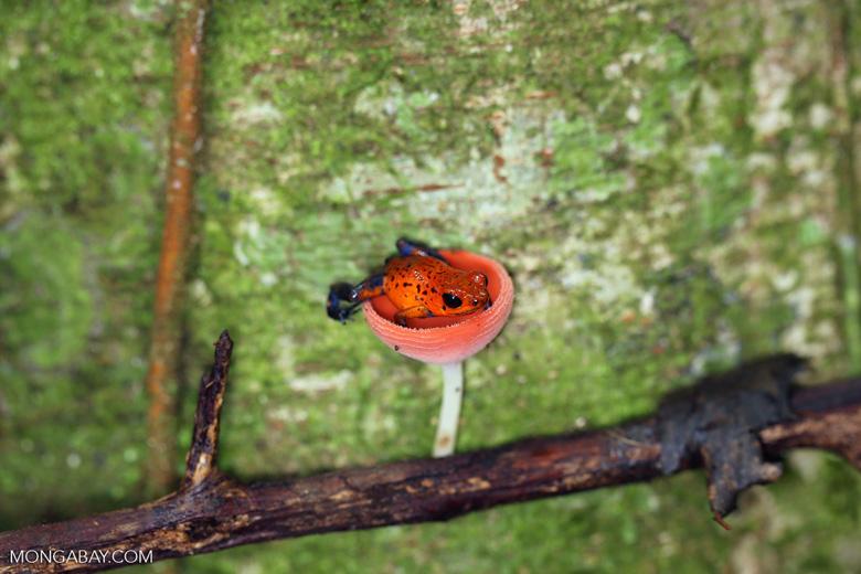 Strawberry dart frog in a red cap mushroom [costa_rica_la_selva_0514]