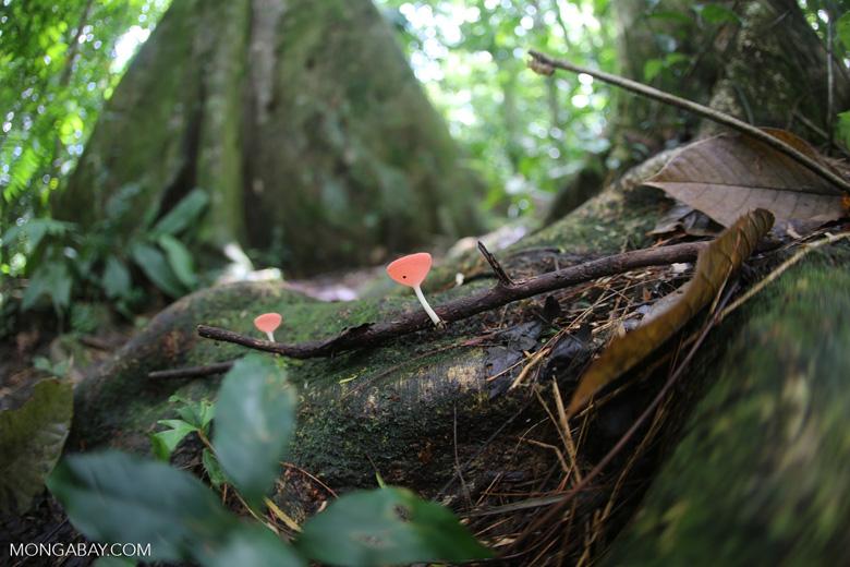 Red cup fungi (Cookeina speciosa) [costa_rica_la_selva_0523]